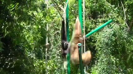 Love is in the air: zoo welcomes pair of white-handed gibbons