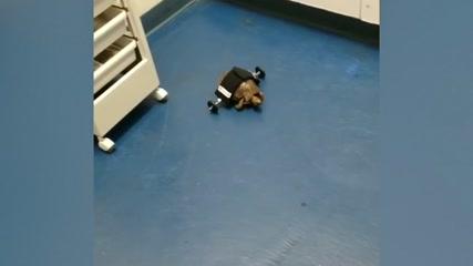 Shell on wheels: injured tortoise gets a little help
