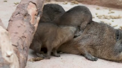 Trio of newborn rock hyraxes make debut at UK zoo