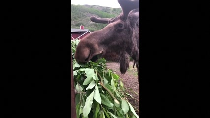 Hungry pet moose Rocky enjoys his evening snack