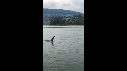 Orcas spotted in Vancouver harbour