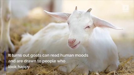 Study Says Goats Like to Be Around People Who Smile