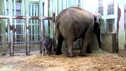 Tokyo zoo's baby elephant makes debut appearance