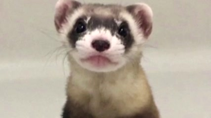 The cloned baby ferret bringing hope to a species